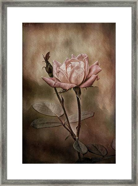 Rose 3 Framed Print