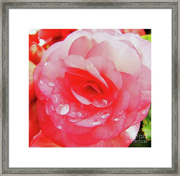 Rose After The Rain Framed Print