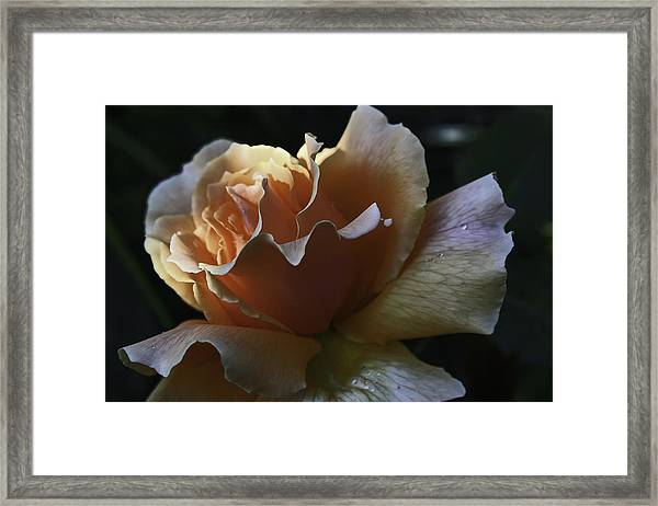 Soft Rose Framed Print