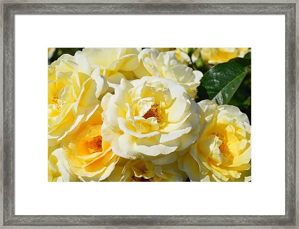 Rose Bush Framed Print