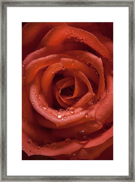 Rose Framed Print by Chris Dale