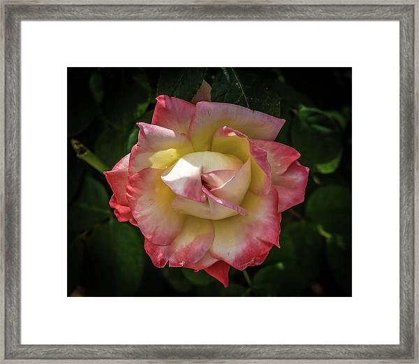 Rose From Mable Ringling's Garden Framed Print