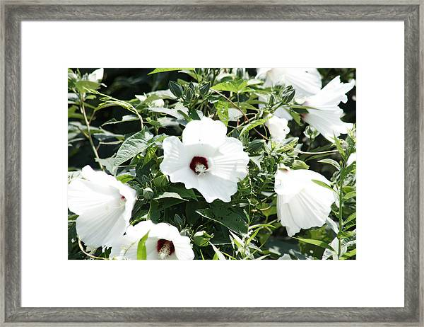 Rose Mallow Framed Print