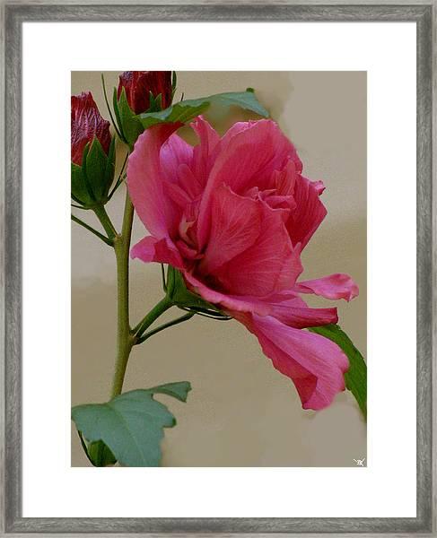 Rose Of Sharon Framed Print by Debra     Vatalaro