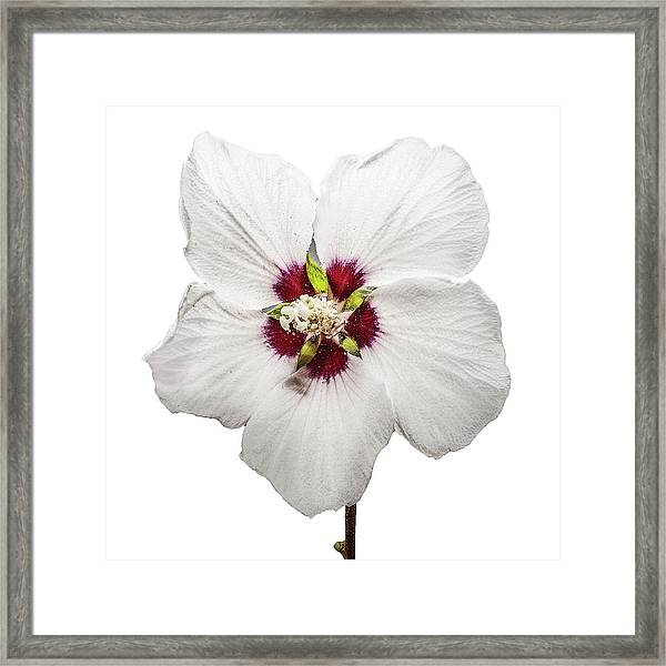 Framed Print featuring the photograph Rose Of Sharon by Scott Cordell