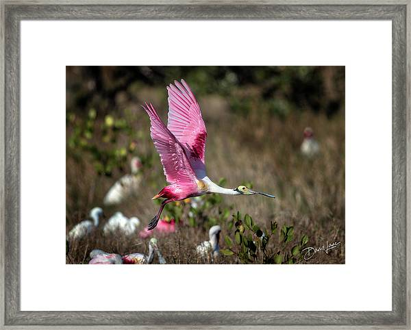 Framed Print featuring the photograph Roseate Spoonbill Flying by David A Lane