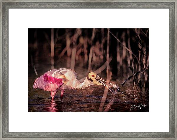 Framed Print featuring the photograph Roseate Spoonbill Gulping by David A Lane