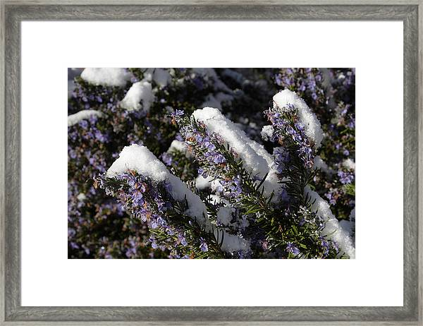 Rosemary Snow Eclairs Framed Print