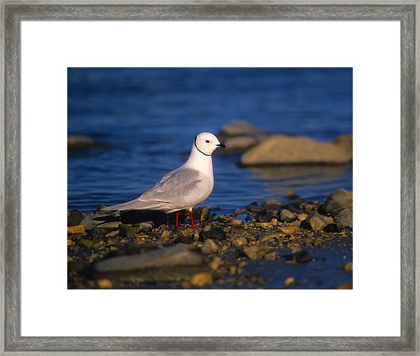 Ross's Gull Framed Print
