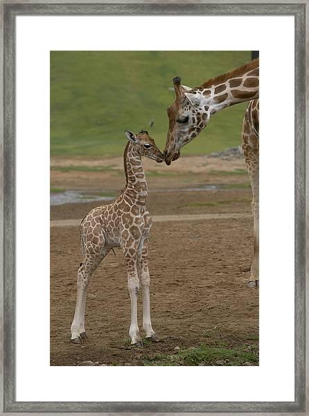 Rothschild Giraffe Giraffa Framed Print