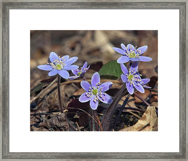 Round-lobed Hepatica Dspf116 Framed Print