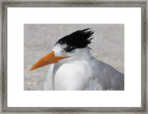 Royal Bad Hair Day Framed Print