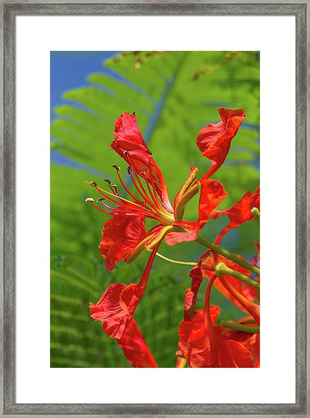 Royal Poinciana Flower Framed Print