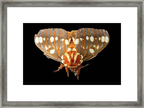 Royal Walnut Moth On Black Framed Print