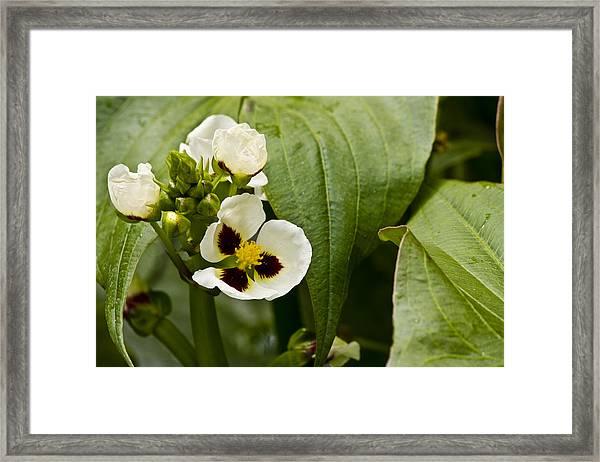 Ruby Eye Arrowhead Framed Print