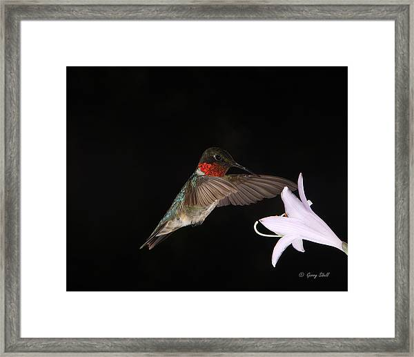 Ruby The Nectar Seeking Missile Framed Print
