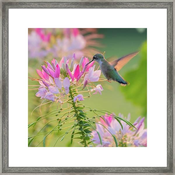 Ruby Throated Hummingbird 3 Square Framed Print