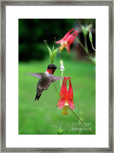 Ruby-throated Hummingbird  Looking For Food Framed Print