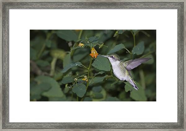 Rubythroated Hummingbird And Jewel Weed Framed Print