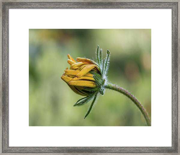 Framed Print featuring the photograph Rudbeckia Fuzzy Bud by Patti Deters