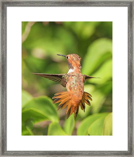 Rufous Display Framed Print by Loree Johnson