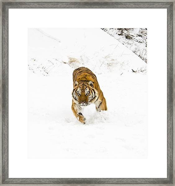 Running Tiger Framed Print