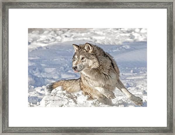Running Wolf Framed Print