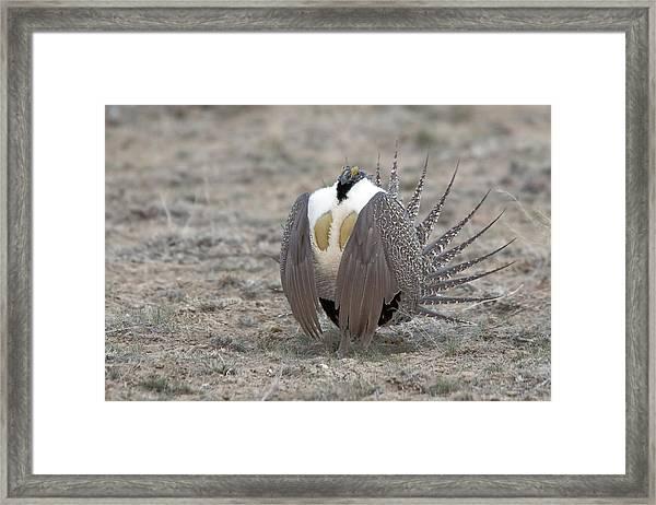 Sage Grouse Framed Print
