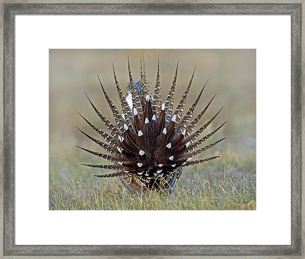 Sage-grouse Tail Fan Framed Print