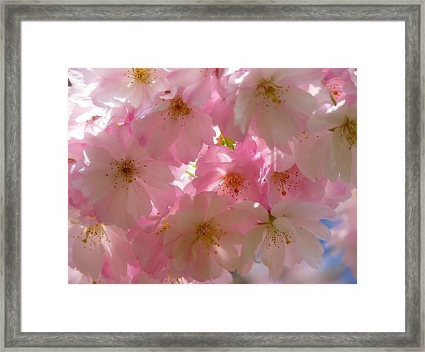 Sakura - Japanese Cherry Blossom Framed Print