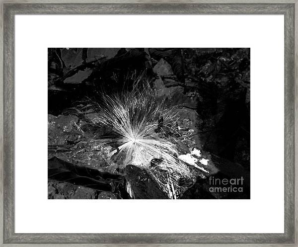 Salix Seed Framed Print