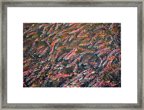 Salmon So Thick You Can Walk On Them Framed Print