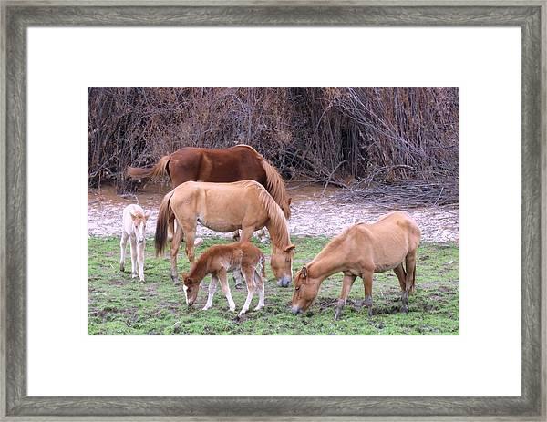 Salt River Wild Horses In Winter Framed Print