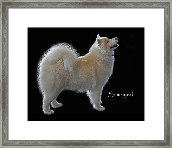 Samoyed Framed Print