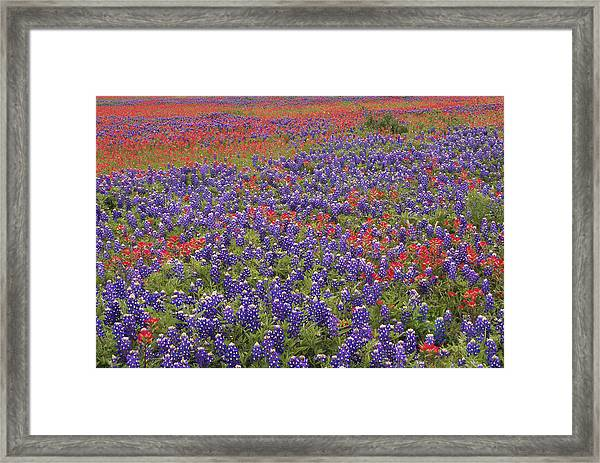 Sand Bluebonnet And Paintbrush Framed Print