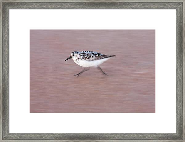 Sanderling On The Run Framed Print