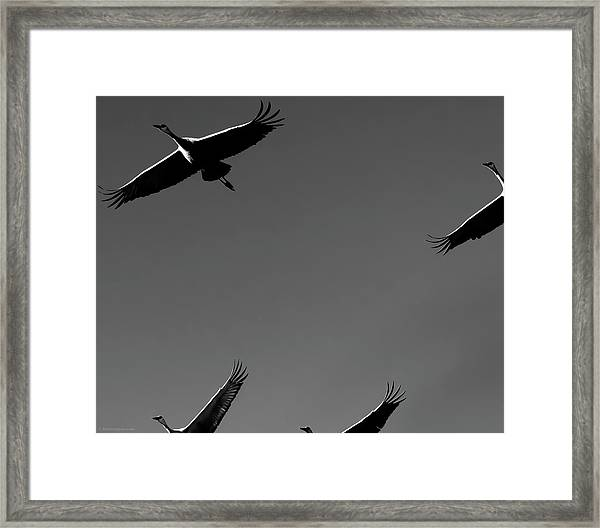 Sandhill Crane In Flight Framed Print