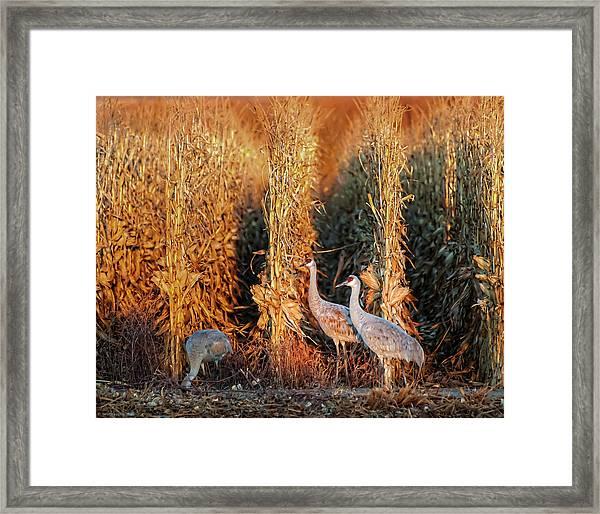 Sandhill Cranes At Sunrise Framed Print