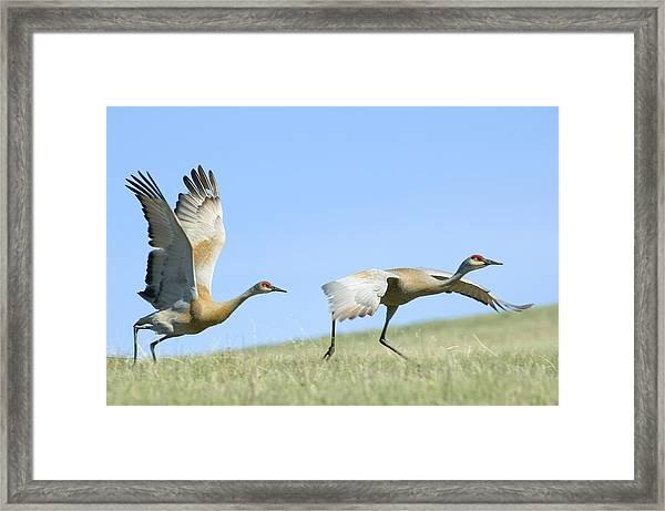 Sandhill Cranes Taking Flight Framed Print