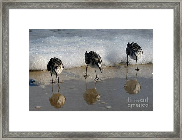 Sandpipers Feeding Framed Print