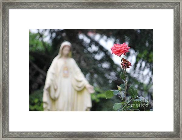 Santa Catalina Rose Framed Print