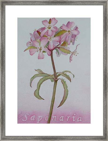 Saponaria Framed Print