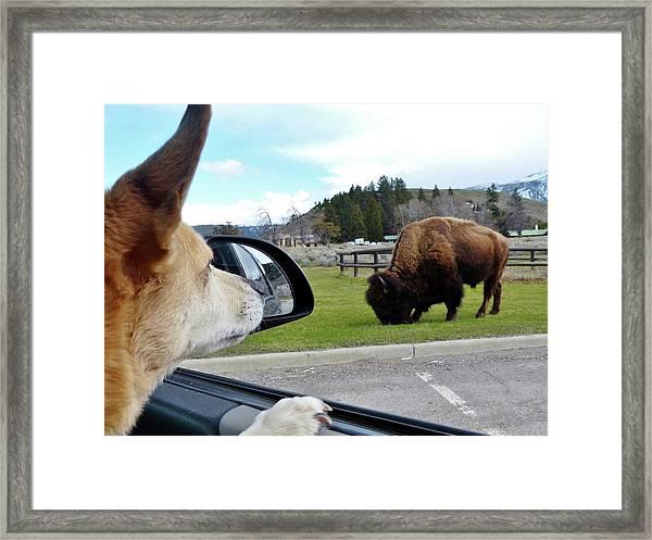 Buffalo Gazing Framed Print