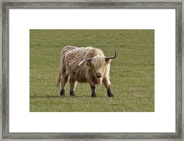 Sauvie Island Cow Framed Print