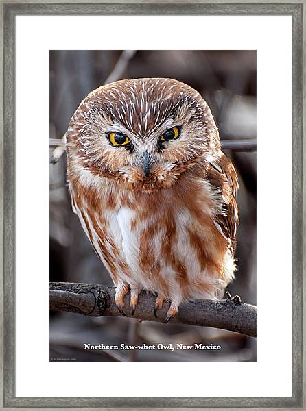 Framed Print featuring the photograph Saw-whet Owl by Britt Runyon