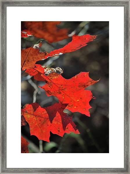 Scarlet Autumn Framed Print
