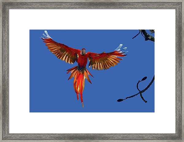 Scarlet Macaw On The Osa Peninsula Framed Print