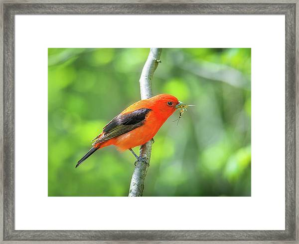 Scarlett Tanager And Prey Framed Print