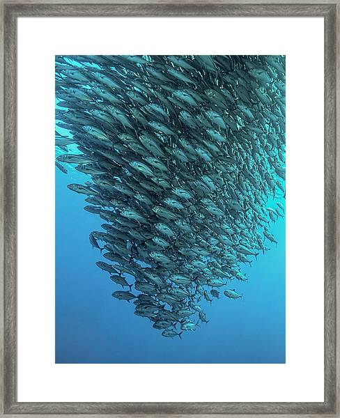 Schooling Jackfishes Framed Print by Henry Jager