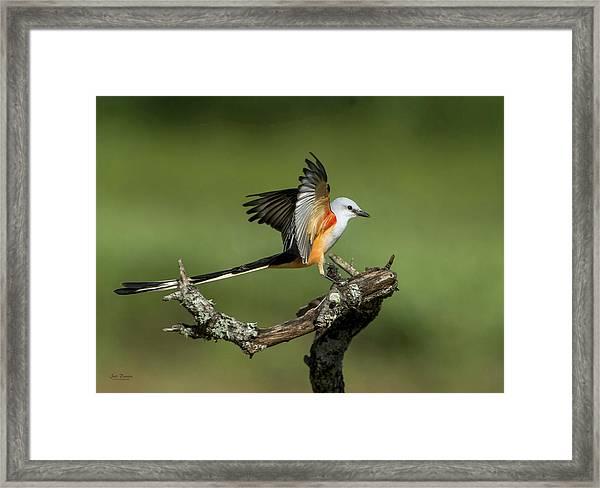 Scissor-tailed Flycatcher Framed Print